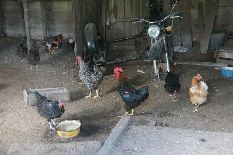 EC chickens